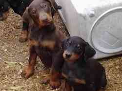 doberman male & female puppy for sale [imp line]